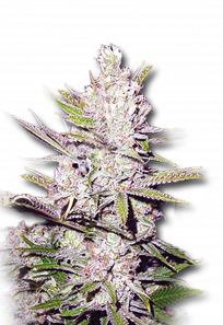 Haze Xtreme Regular Marijuana Seeds