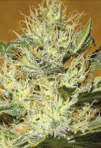 Black Mamba CBD Marijuana Seeds