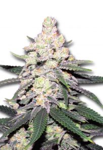 CB Dutch Treat Feminized CBD/Medical Marijuana Seeds