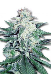 CB Dream Feminized CBD/Medical Seeds