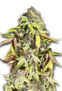 crown royale feminized seeds opt