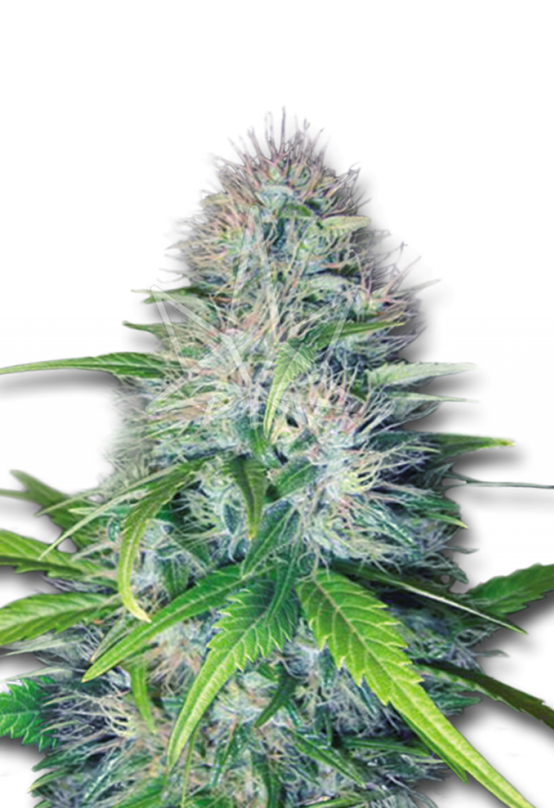 early-miss-autoflower-seeds