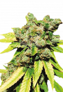 Lambs Breath Autoflowering Marijuana Seeds