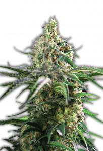 Cheese Autoflowering Marijuana Seeds