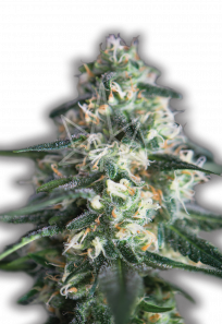 Chemdog Feminized Marijuana Seeds