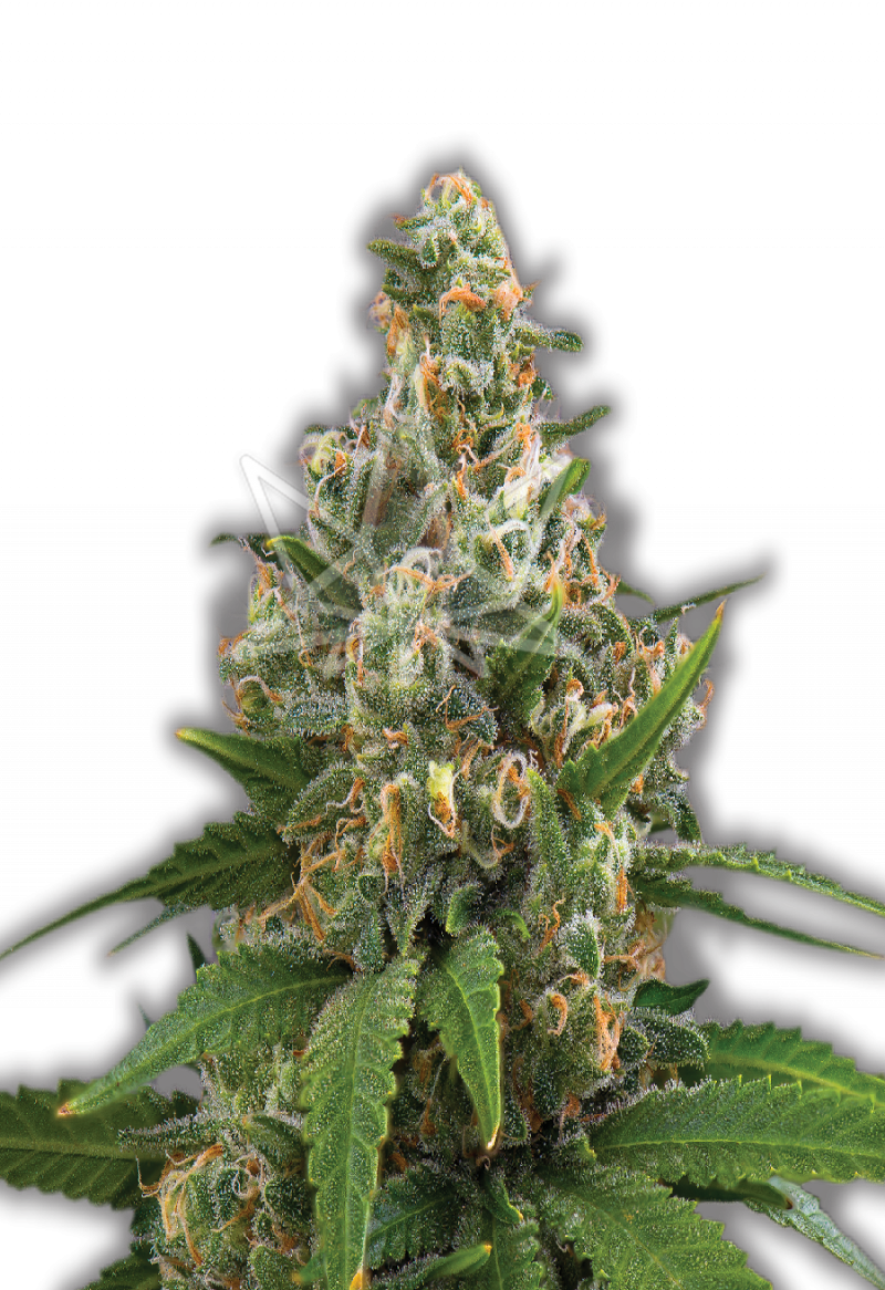 girl-scout-feminized-seeds