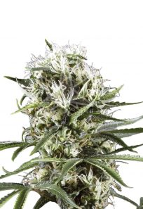 Great White Shark Feminized Marijuana Seeds