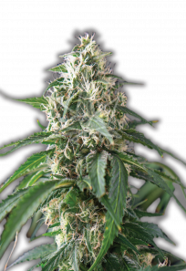 Kali Mist Feminized Marijuana Seeds