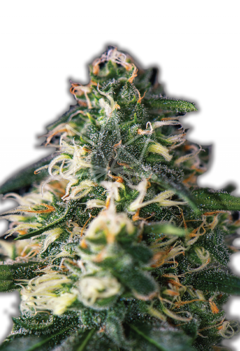 northern-lights-autoflower-seeds
