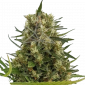 Strawberry Diesel Feminized Marijuana Seeds