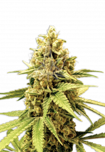 Acapulco Gold Feminized Marijuana Seeds