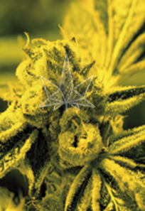 Cafe Racer Feminized Marijuana Seeds