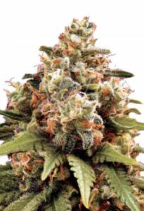 Chocolope Feminized Marijuana Seeds
