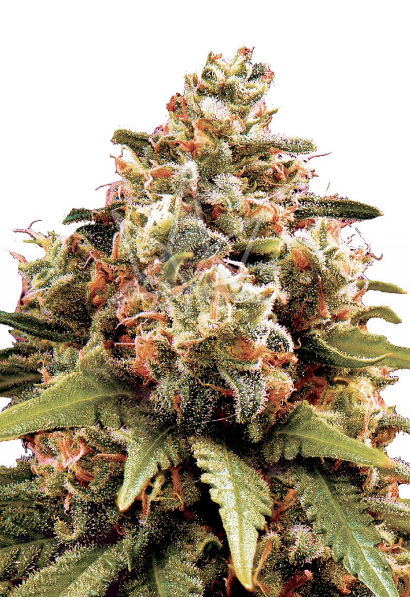 chocolope-feminized-seeds
