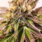 Gelato Feminized Marijuana Seeds