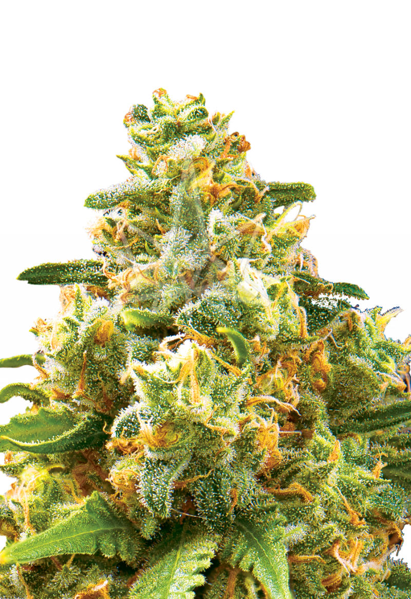 hawaiian-gold-autoflower-seeds