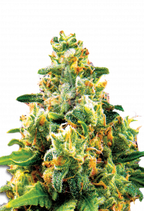 LA Confidential Feminized Marijuana Seeds