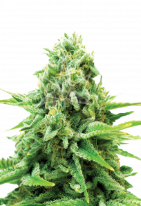 Northern Light Autoflowering Marijuana Seeds