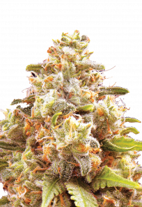 Strawberry Cough Autoflowering Marijuana Seeds
