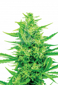 Super Silver Haze CBD Marijuana Seeds