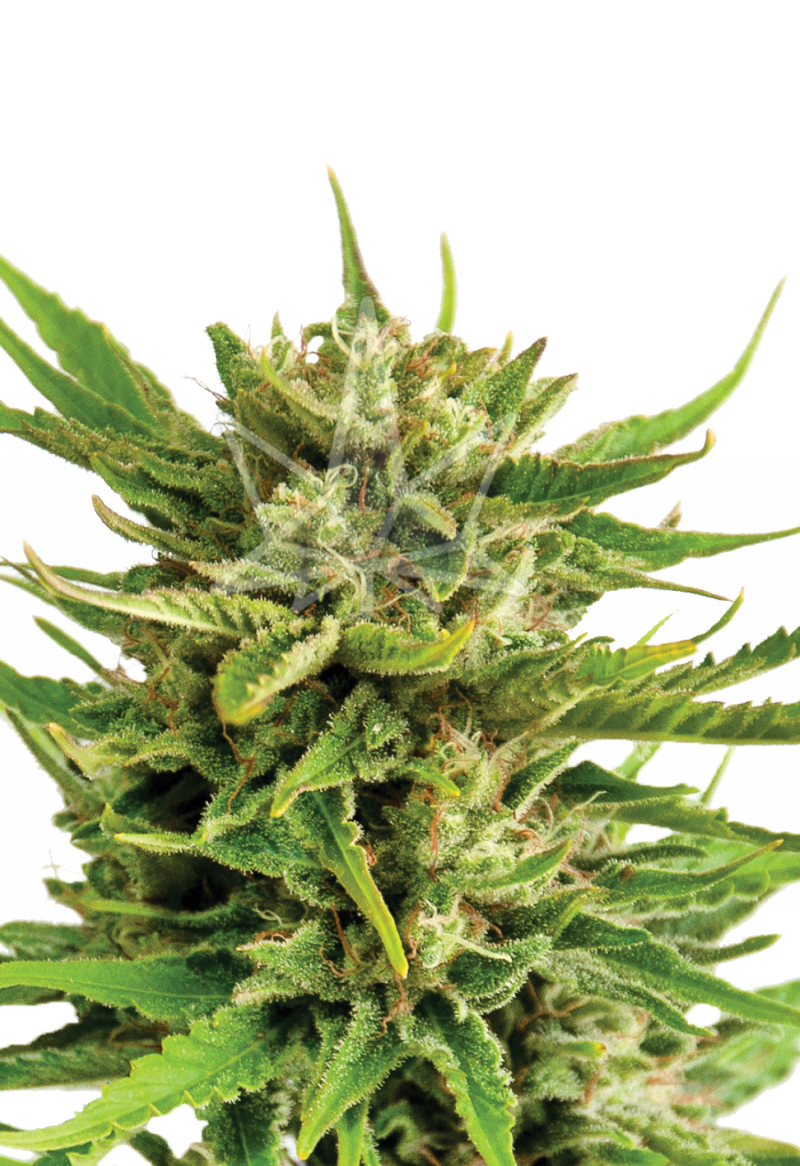 sweeth-tooth-feminized-seeds