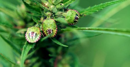 Pests Bugs and Viruses in Marijuana and Solution