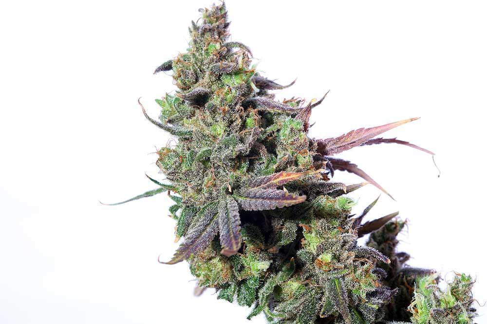 Top 10 Cannabis Strains for Sex