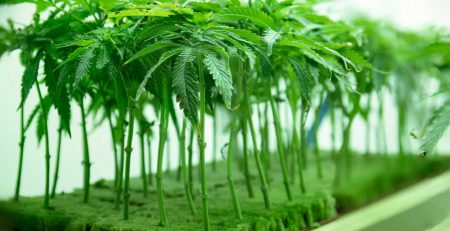 How Long Does It Take to Grow Weed 1