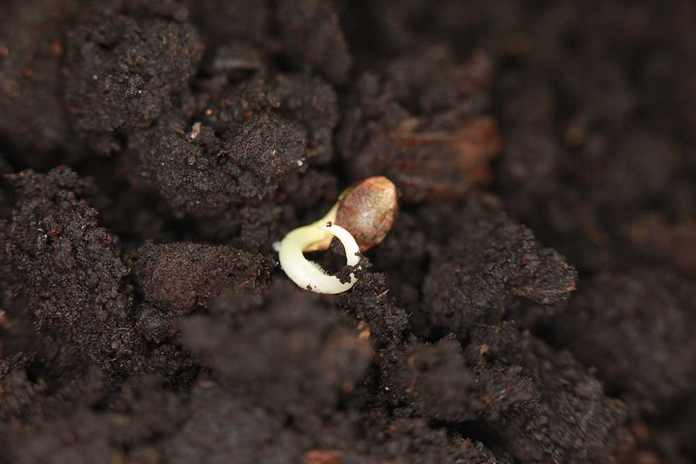 How to Grow Marijuana from Seed 2