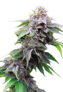 Blue Cookies Feminized Marijuana Seeds