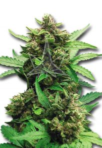 CB Cheese Autoflowering Marijuana Seeds