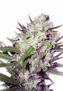 Dark Angel Feminized Marijuana Seeds