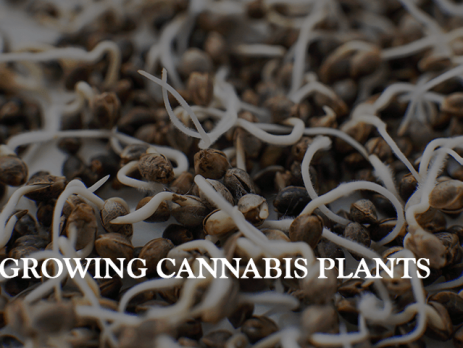 growing cannabis plant