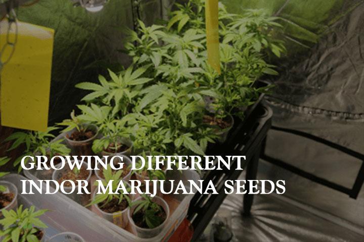 Cultivation 101: Growing Different Indoor Marijuana Seeds