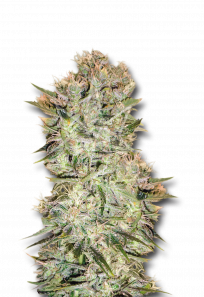 Original Skunk Regular Marijuana Seeds