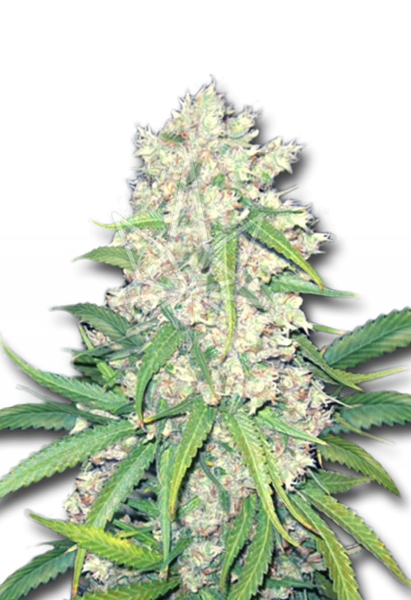 super-silver-haze-feminized-seeds