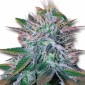 White Widow Feminized Marijuana Seeds