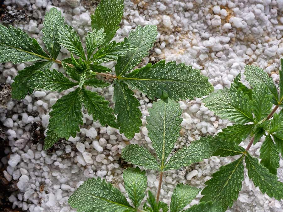 Enhance Cannabis Growth with Perlite as Growing Medium 1