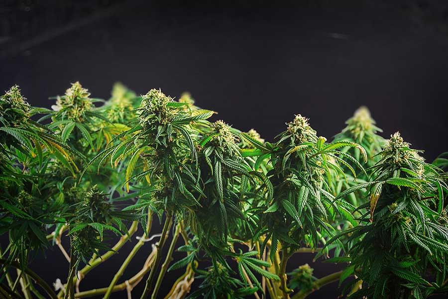 Genetic Feminized Marijuana Seeds Are Genetically Engineered 1