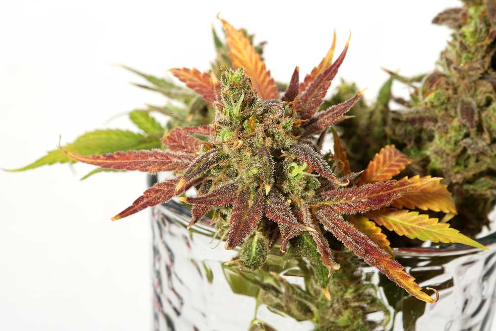 Why the Use of Molasses is Perfect For Your Marijuana Plants