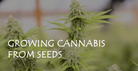 growing cannabis from seeds