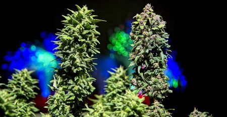 The General Difference Between Autoflowering and Feminized Cannabis 1