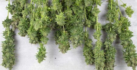 Tips On How to Dry Weed Buds Fast 1