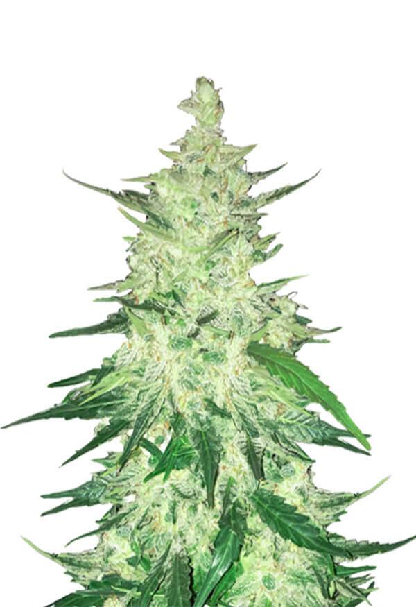 CBD Diesel Marijuana Seeds