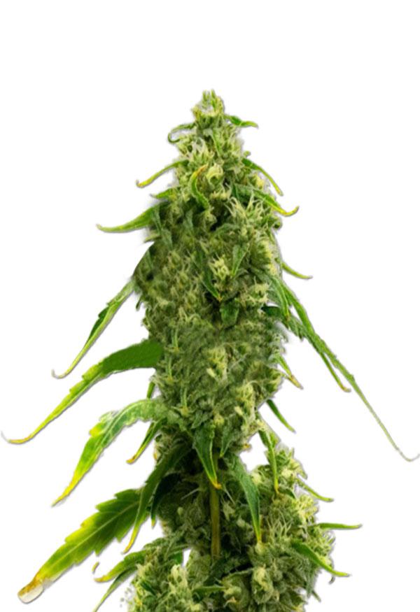 CBD Harlequin Kimbo Kush Fast Version Marijuana Seeds