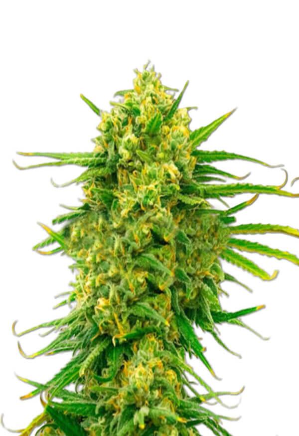 CBD Mexican Marijuana Seeds