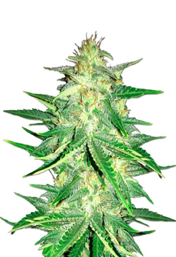 CBD Zkittlez Marijuana Seeds