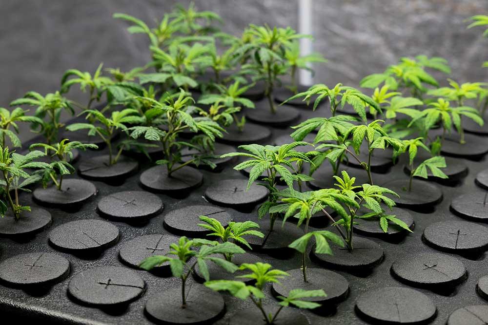 DIY Cannabis Clone Box Made Easy