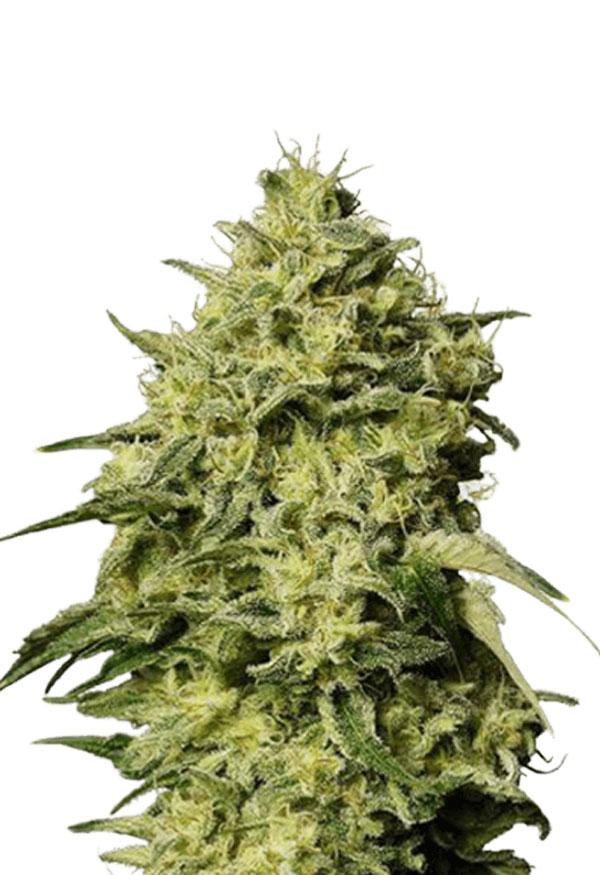 Amnesia Autoflowering Marijuana Seeds
