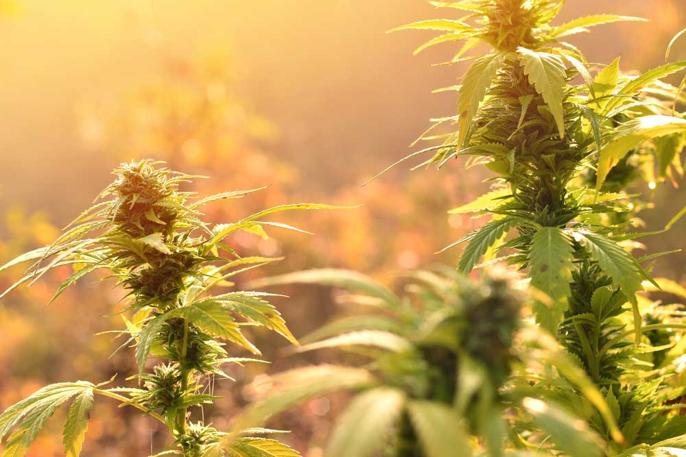 10 Best Outdoor Strains for Growing Quality Marijuana